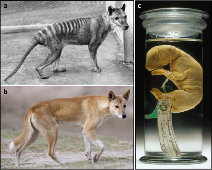 australia s science channel why does a thylacine look like a dog