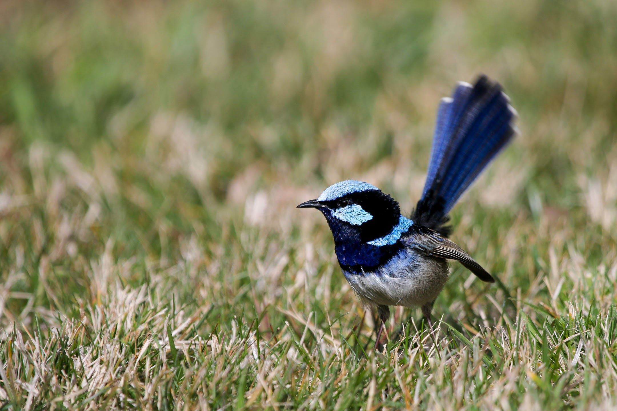 Male fairy-wren.