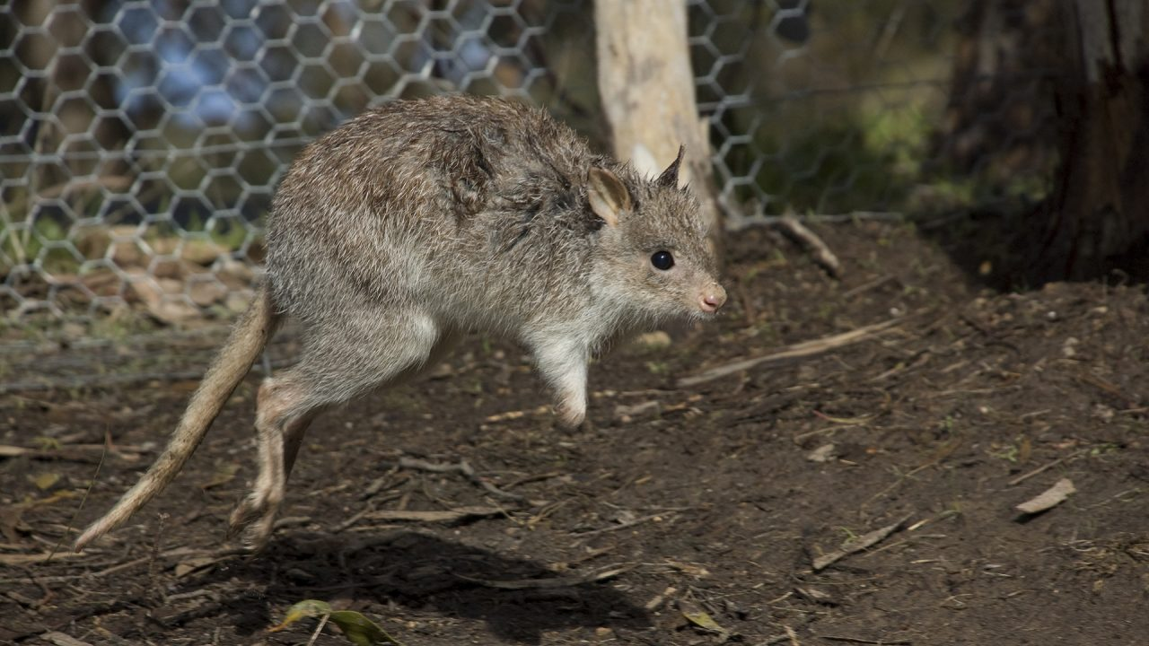 Bettong jumping in enclosure