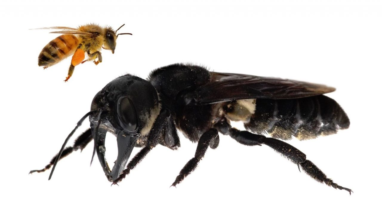 biggest bee in the world thicc boi