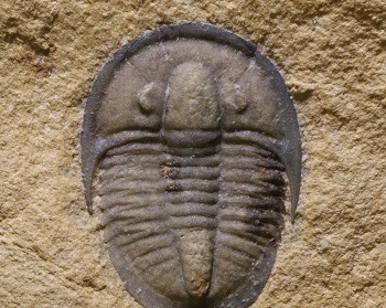 Evolutions 'big bang' Cambrian trilobite