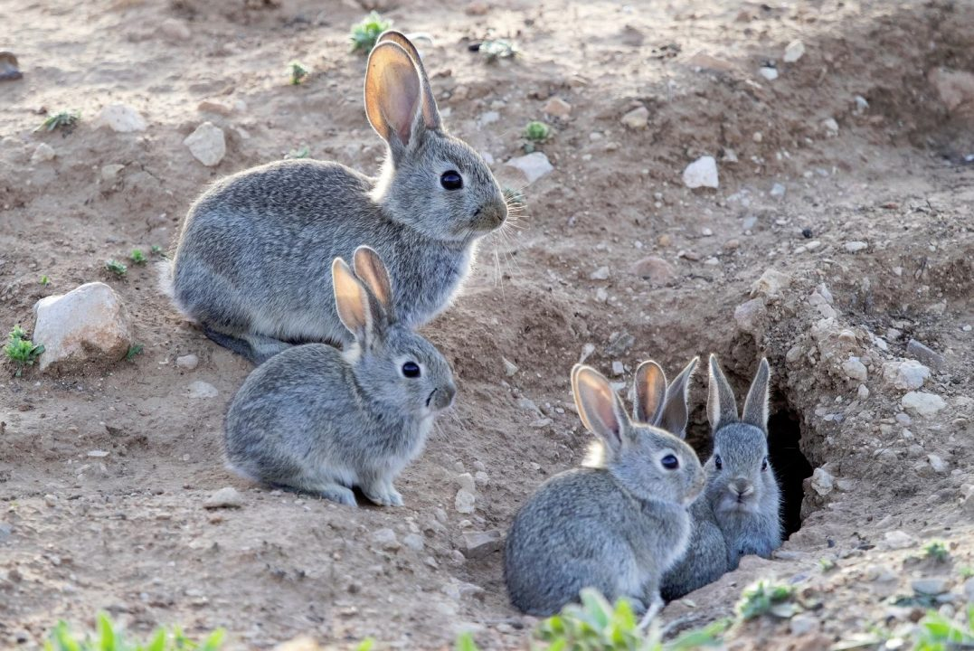 rabbit invasive species pest