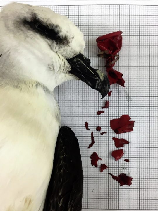 plastic waste risk to seabird