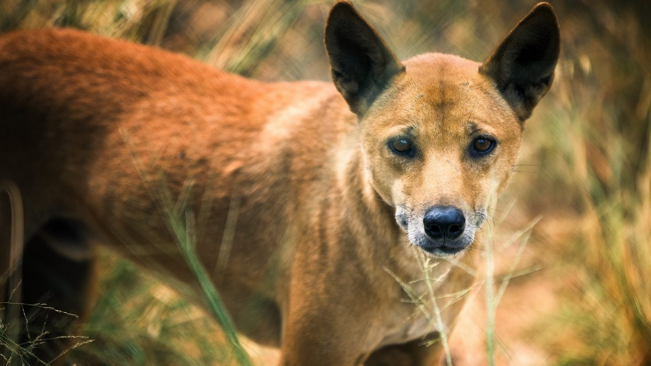dingo species