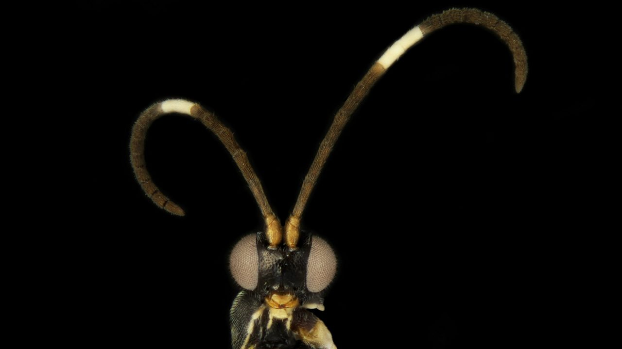 new wasp species Sathon oreo