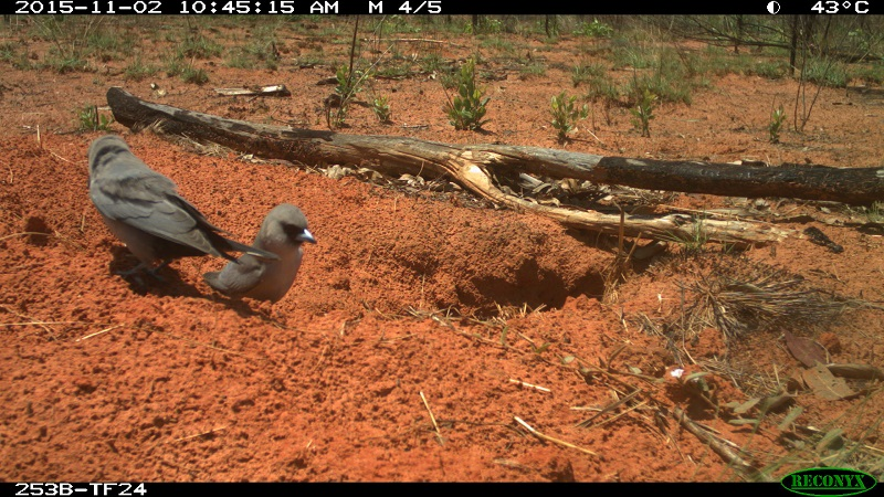 bilby burrow ecology Australia birds