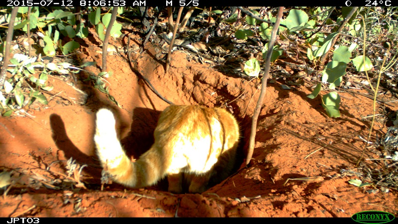 bilby burrow ecology Australia feral cat
