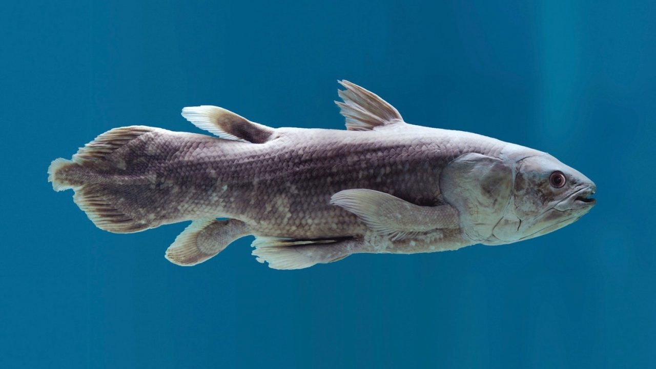 Coelacanth ancient fish tiny brain