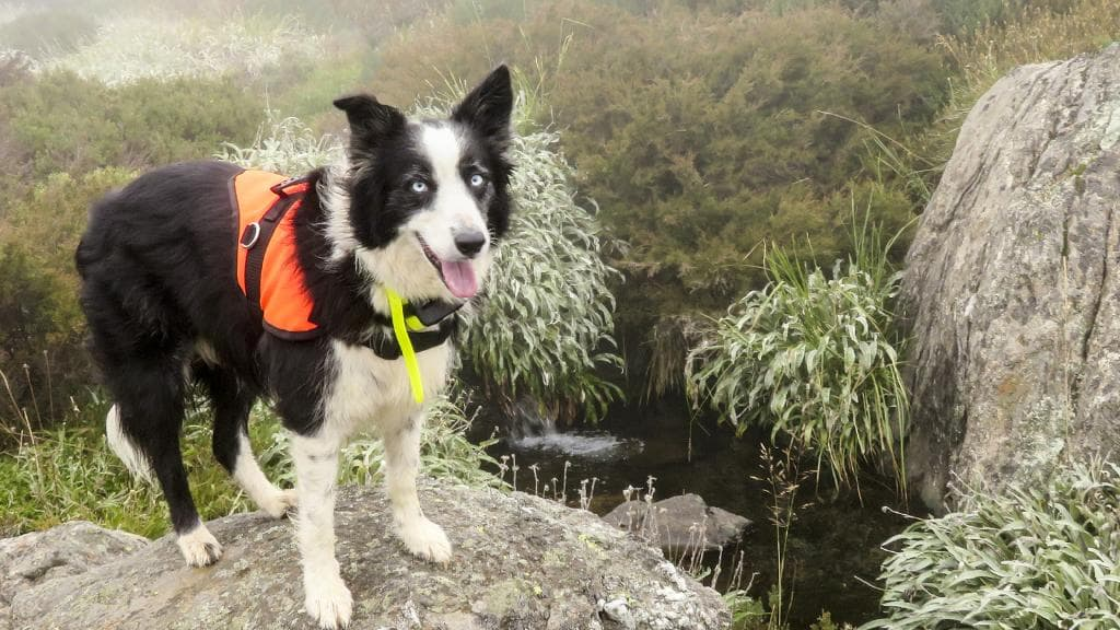 detection dog endangered insects