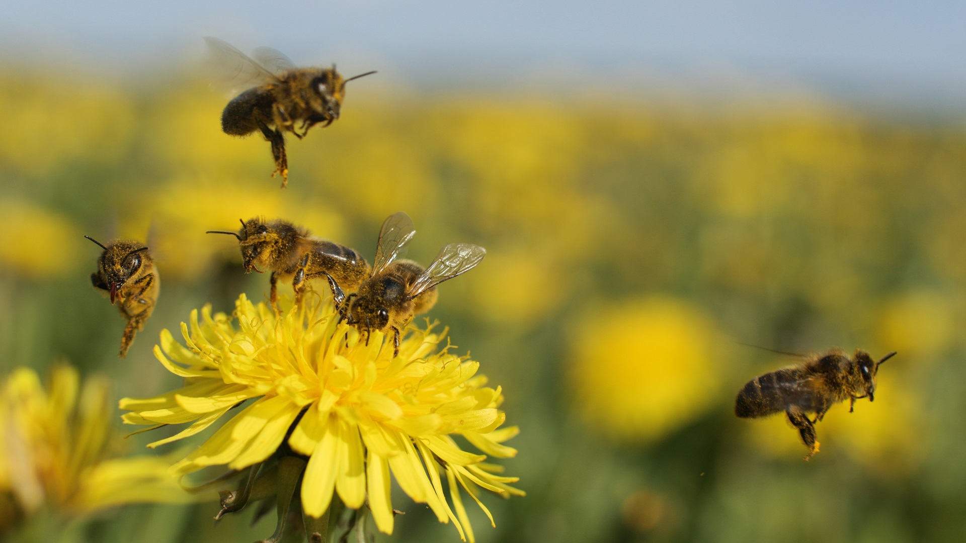 honeybees honeybee and maths cognitive ability