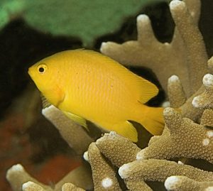 great barrier reef_microplastic pollution_lemon damselfish