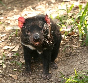 cancer cells_tasmanian devil_australian animal