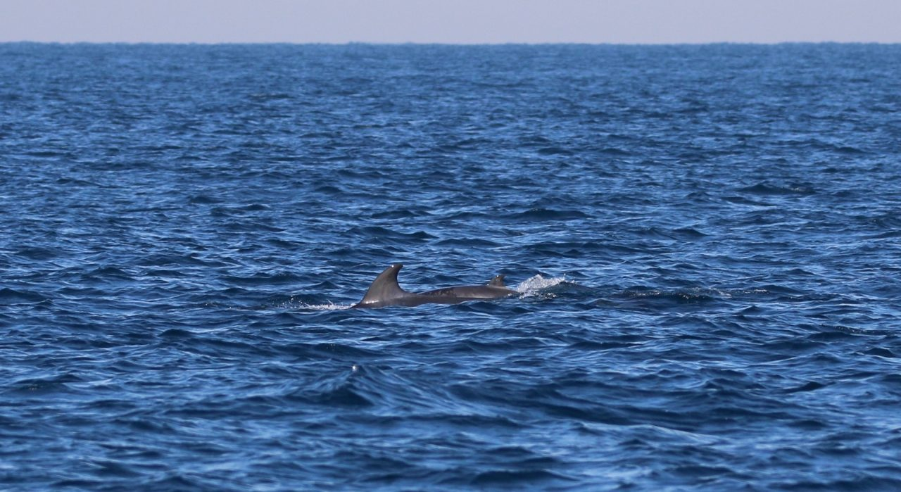 whale citizen science project Mother and calf Minke whale off Cape Solander NSW