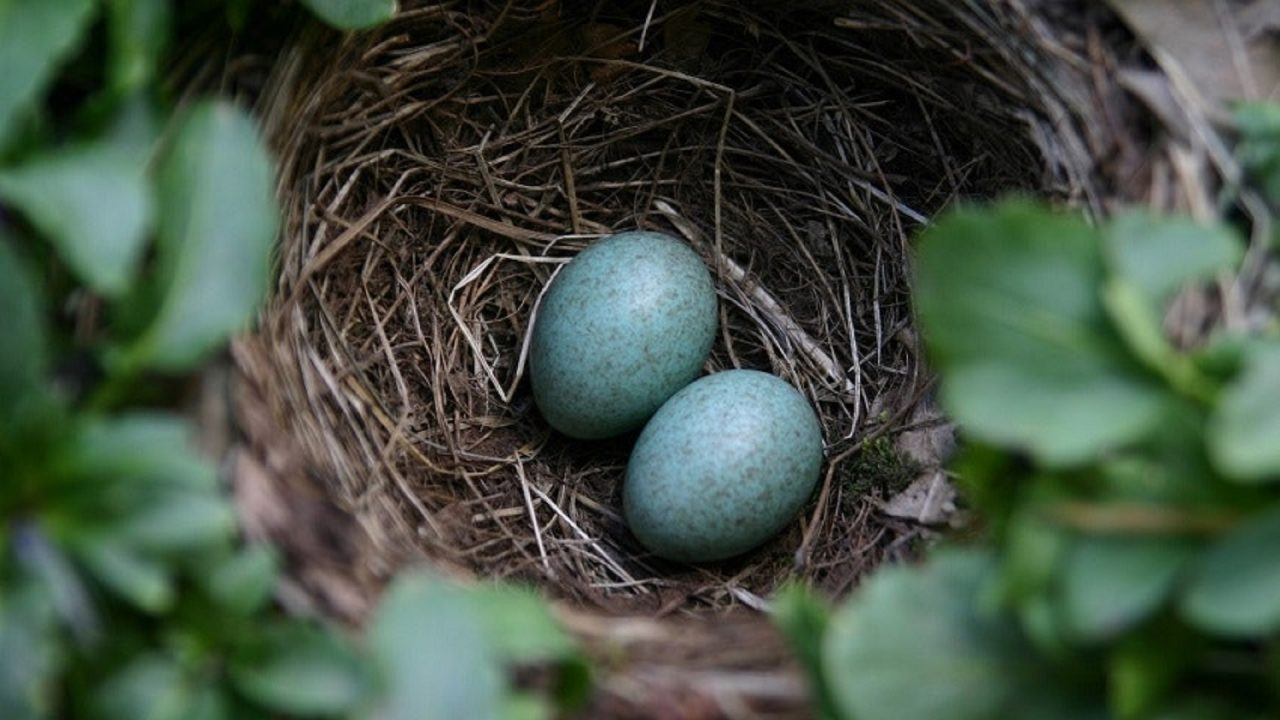 dark coloured bird eggs in nest