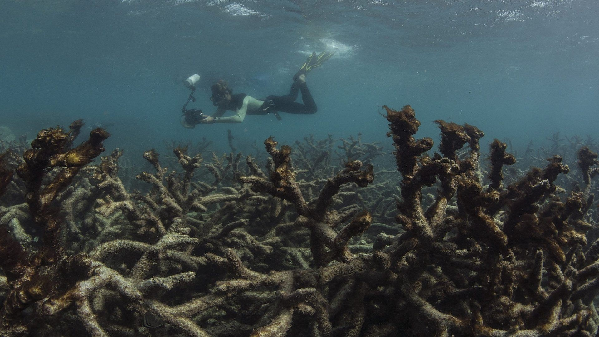 Dead corals coral bleaching increasing from global warming climate change