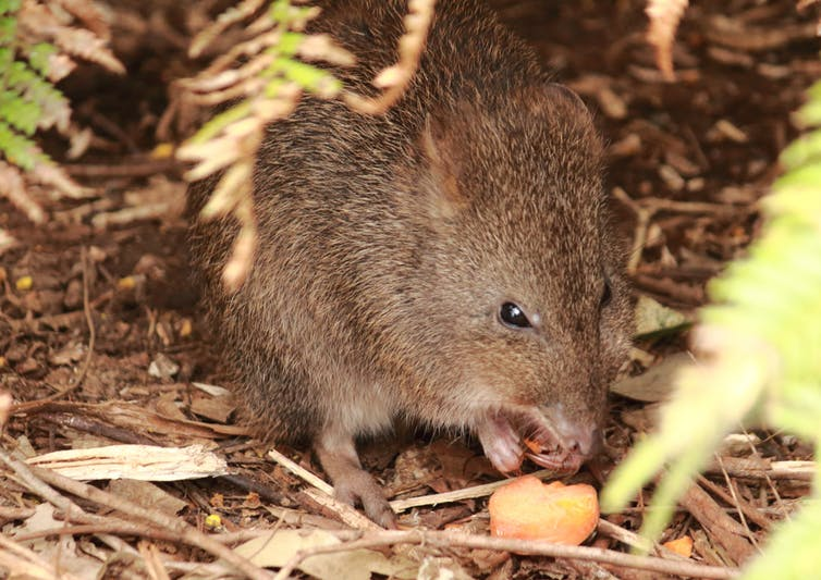 threatened species_long-footed potoroo_australian animals