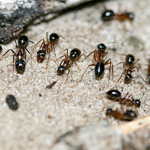 sugar ants mining urine from sand preventing nitrous oxide formation