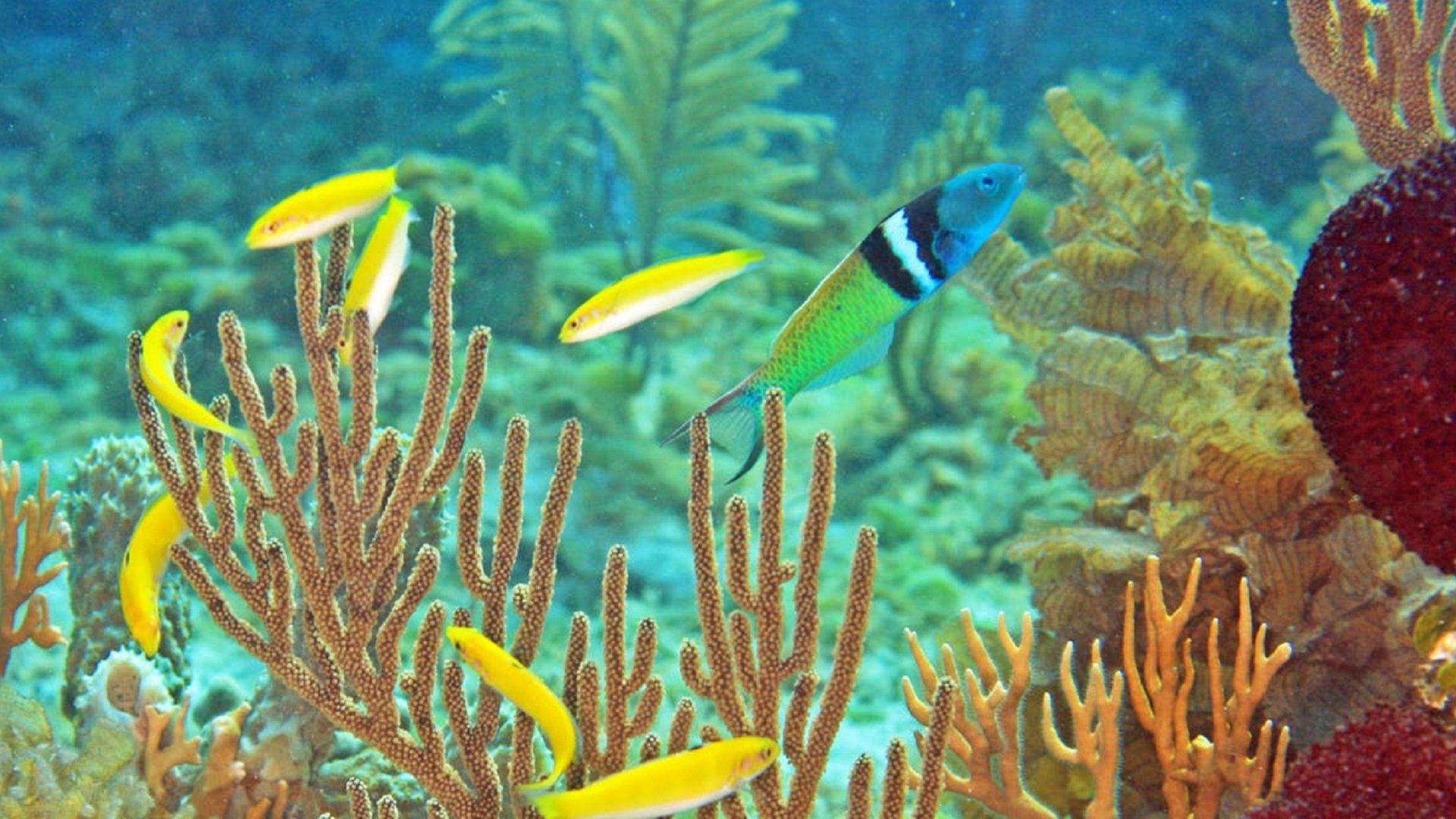 bluehead wrasse sex changing fish