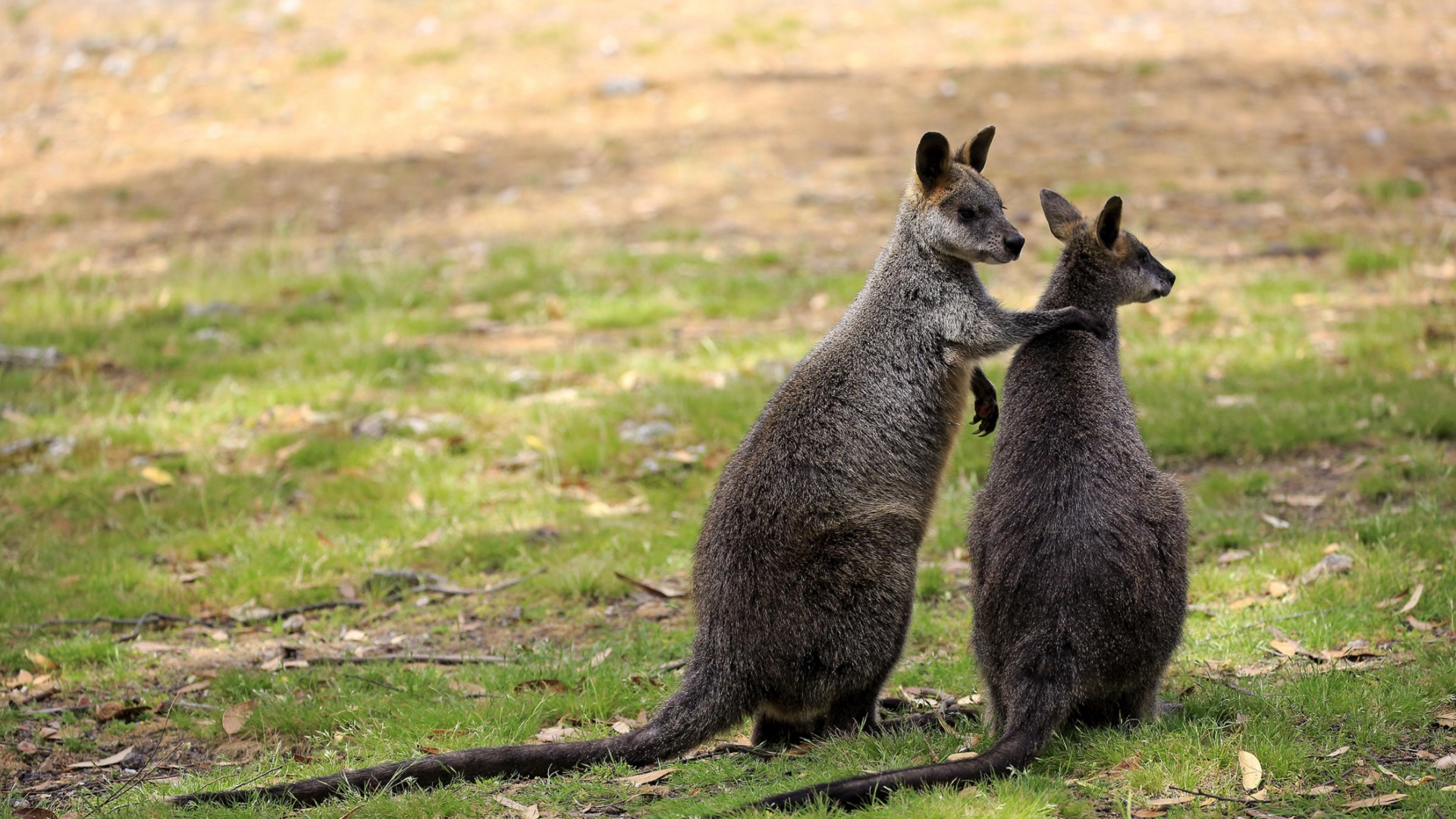 swamp wallabies_wallaby_marsupial