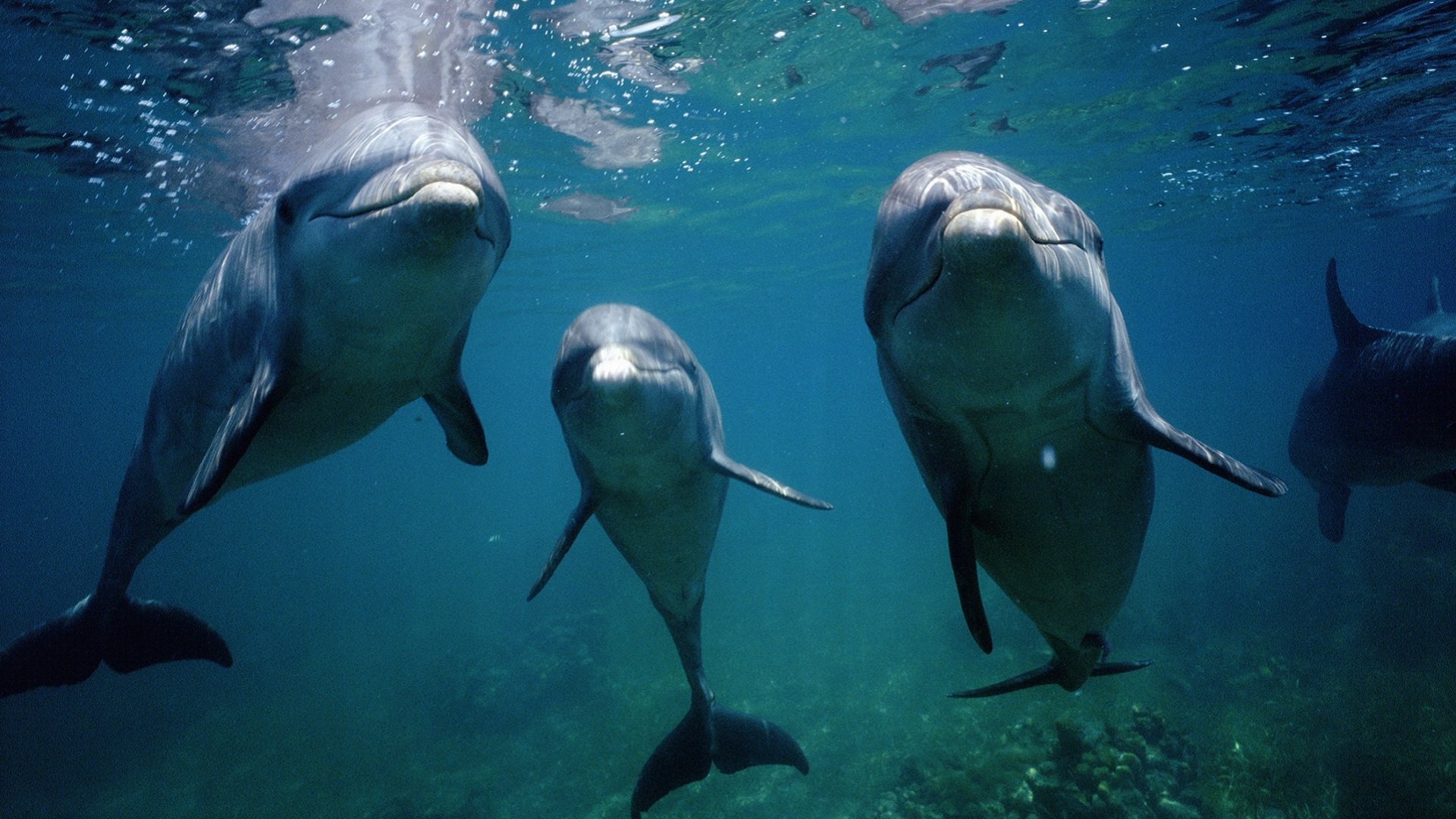 dolphin mating calls