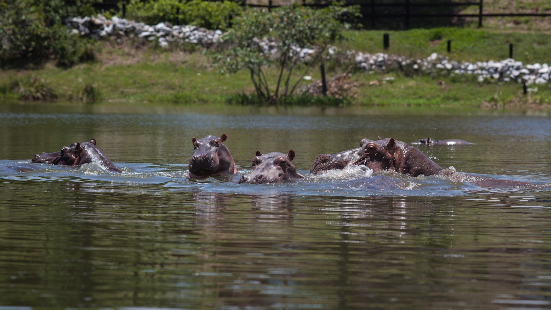 introduced species_hippopotamus_escobar hippos_invasive species