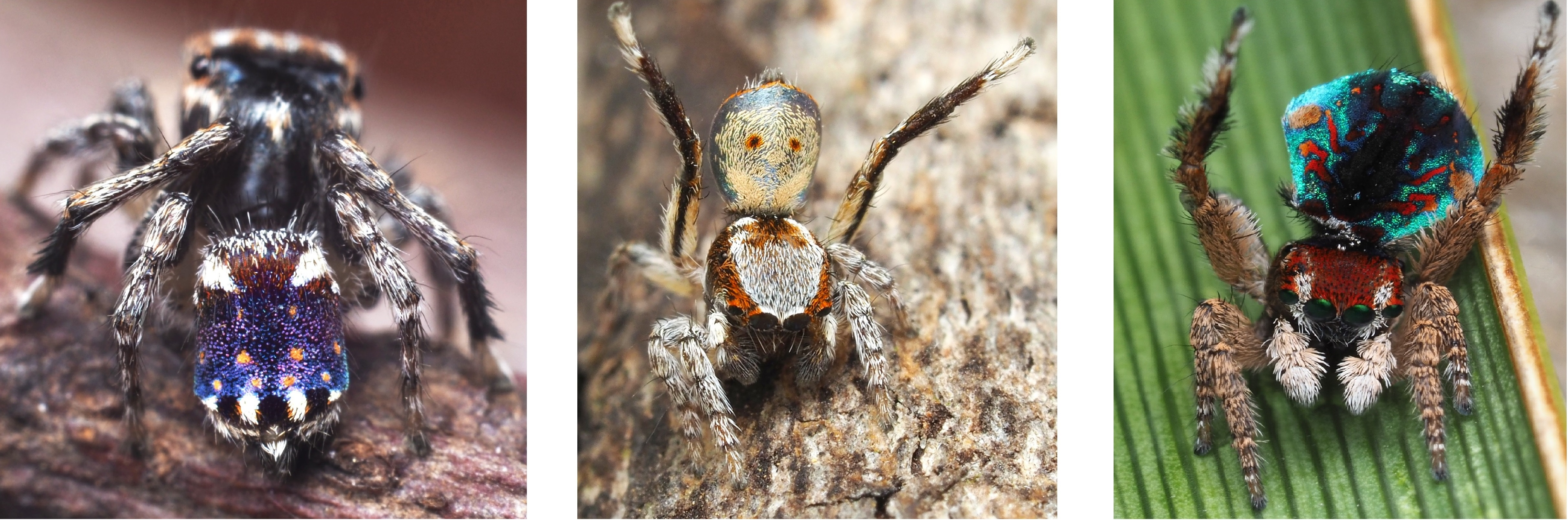 new species of peacock spiders