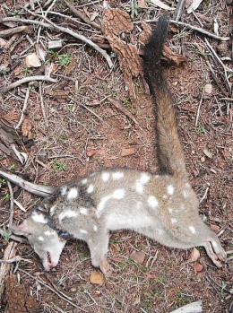 western quolls_feral cats_native species