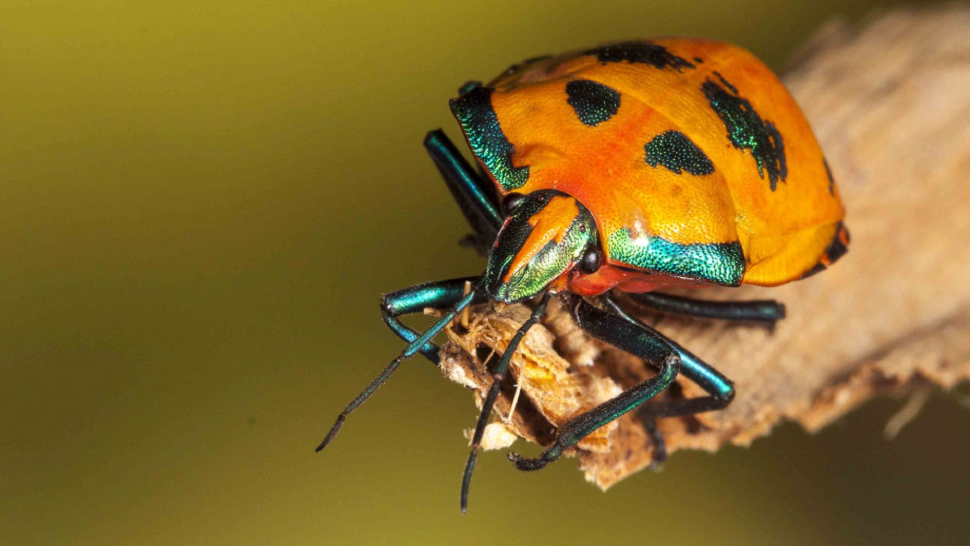 shield bugs_bugs_insects