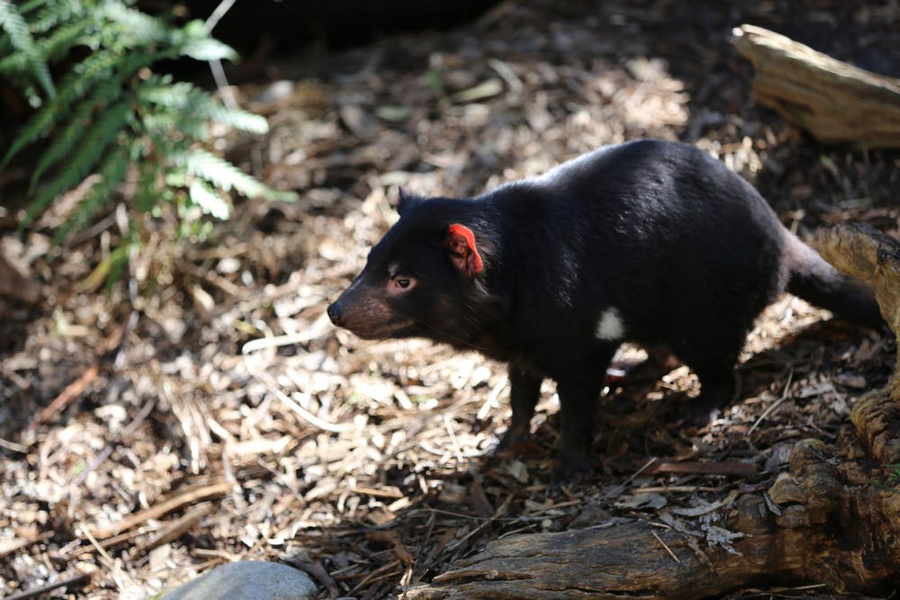 detection dogs_Tasmanian devil_tassie devil