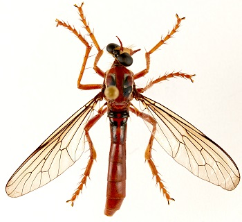 deadpool's fly_newly named species_Humorolethalis sergius