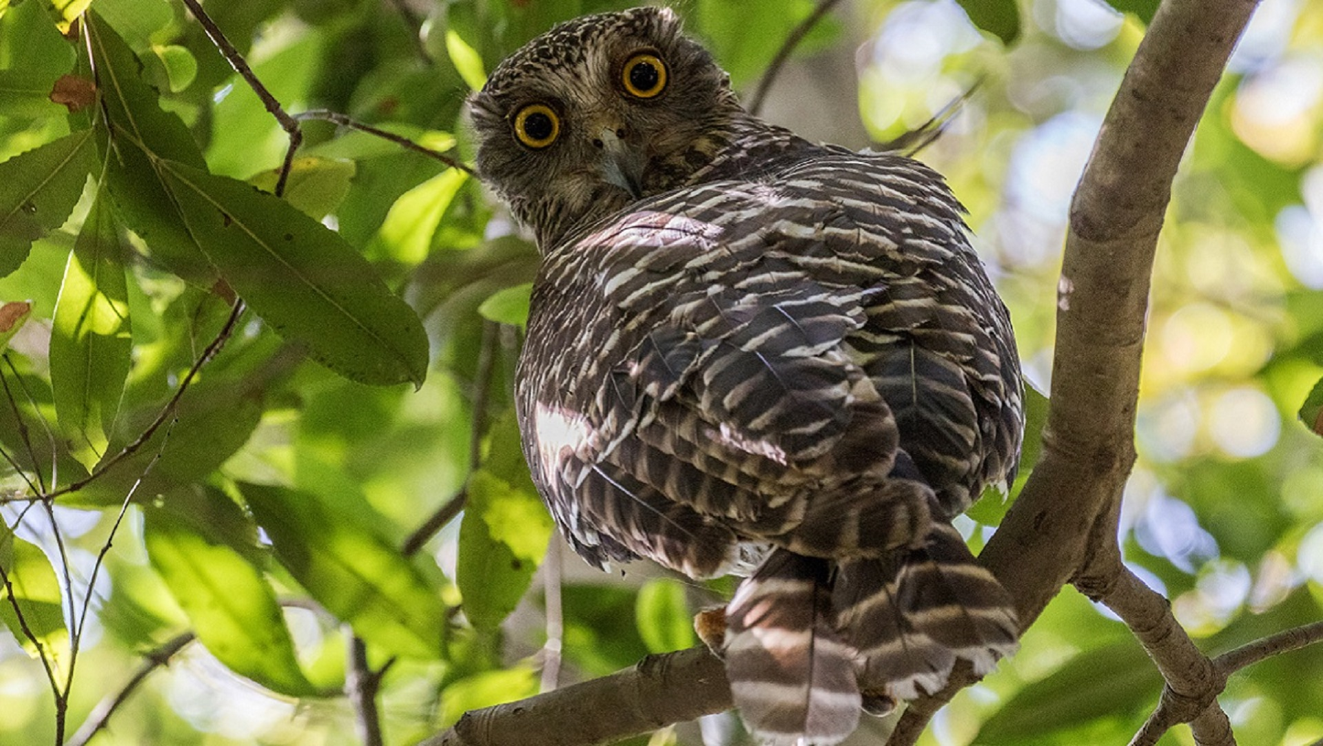 On the hunt for the powerful owl