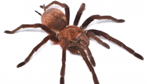 Giant spider provides promise of pain relief for IBS