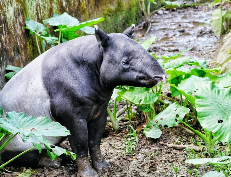 rainforests_tapir_south east asia